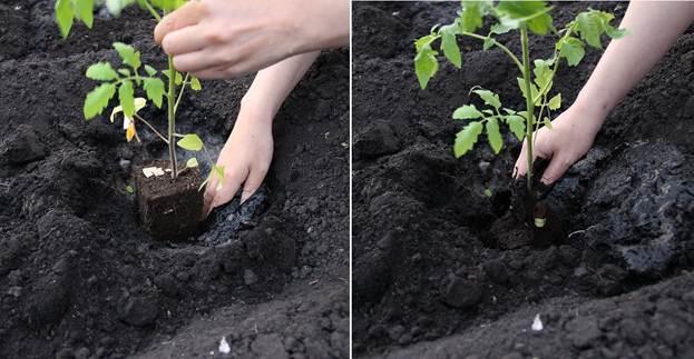 Кусты помидоров следует высаживать на расстоянии не менее 25-30 см друг от друга, чтобы их было проще подвязывать и прищипывать