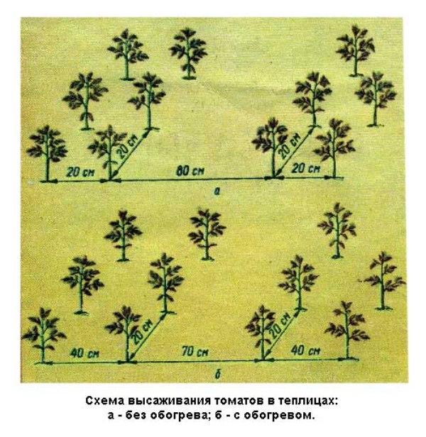 Интервал между рядами формируется в 60 см. Между высокими и низкими помидорами можно высаживать рассаду штамбовых сортов на расстоянии друг от друга в 25 см.