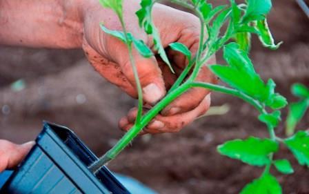 В теплицах, рассчитанных на семейное производство, как правило, высаживаются томаты в сортовом ассортименте