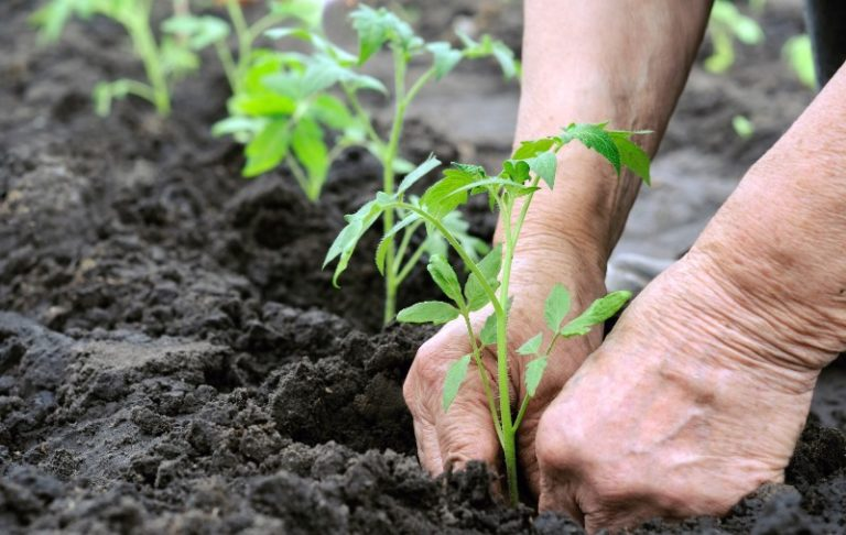 Разместить помидоры у края дорожек можно только теневыносливые, поскольку здесь у растений будет боковая затененность
