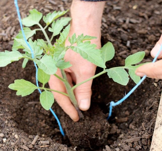 В хорошо обустроенной и ухоженной теплице разместить помидоры можно гораздо плотнее и эффективнее, чем в пока еще не обустроенном помещении