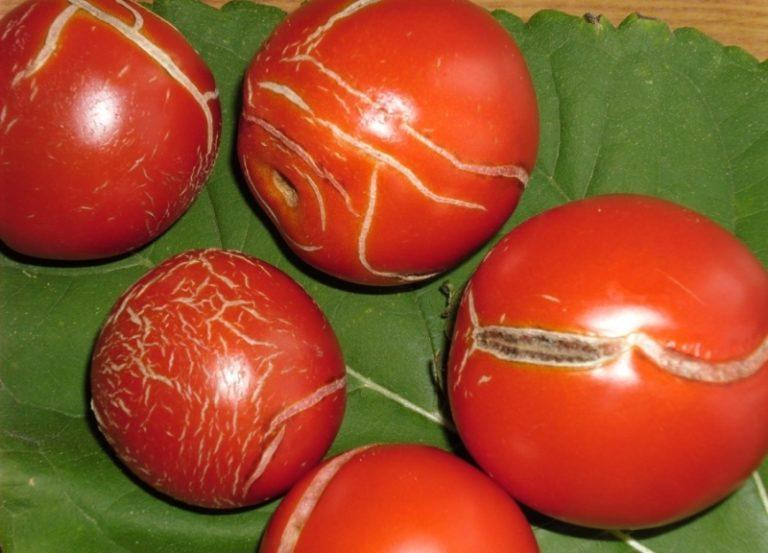 Одной из наиболее распространенных проблем, возникающих при выращивании помидоров, является образование трещин