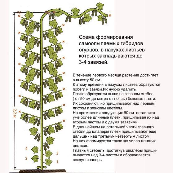 Огурцы на балконе выращивание пошагово прищипывание 96