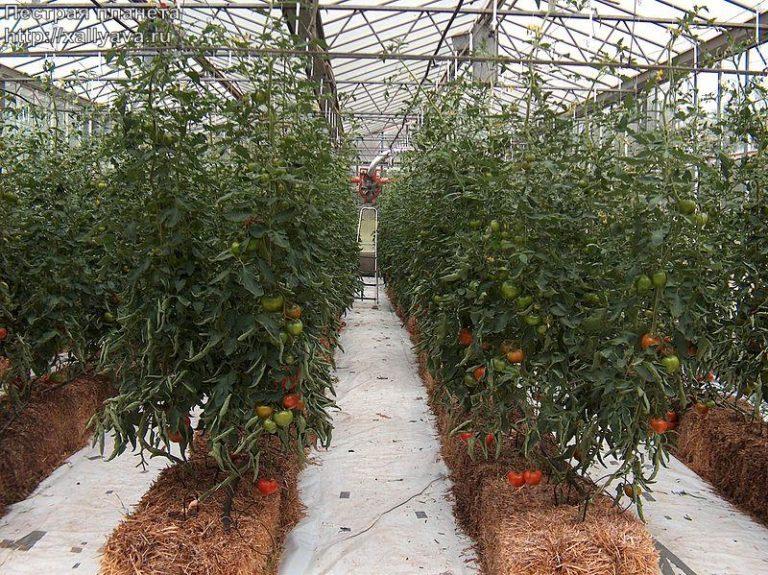 Как происходит промышленное выращивание томатов в теплице?