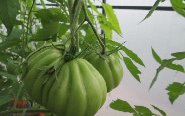 Зеленоватые экземпляры способны дозревать в домашних условиях
