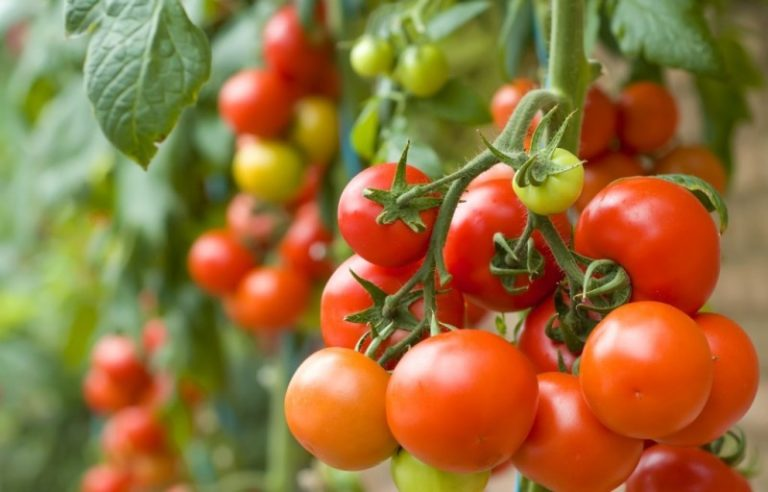 Жители Украины спокойно обходятся без пленочных укрытий, а дачники с северных регионов могут этому только позавидовать. Они редко сажают томаты без теплицы