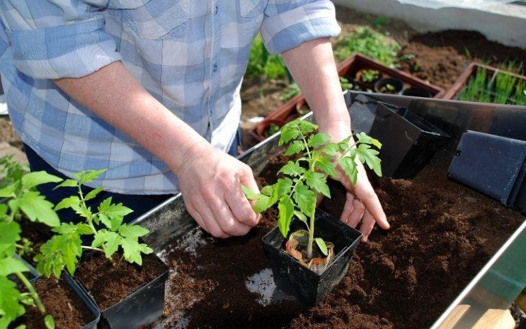 В южных регионах сажать в летний период растения под пленку не следует. Помидоры прекрасно себя чувствуют, если не происходит перегрева