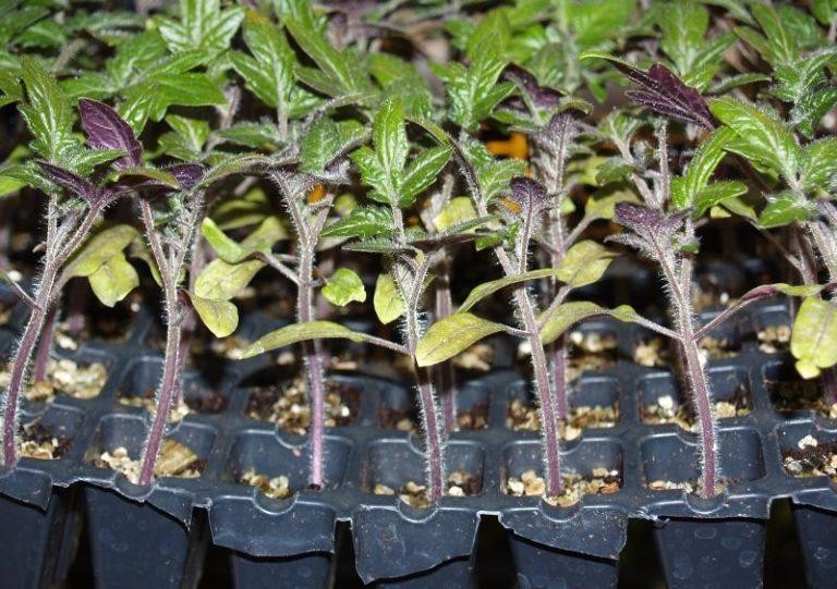 Не забывайте проветривать помещение, тогда ваши растения будут крепкими и устойчивыми, но избегайте сквозняков, чтобы не погубить саженцы