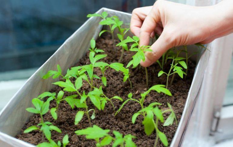 Садите семена на расстоянии в 2-3 см, так им всегда будет хватать света, а значит, они не станут затенять друг друга