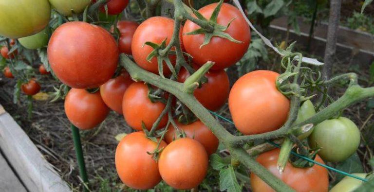 Ямал. Сорт низкорослых томатов, выведенный специально для открытого грунта. Раннеспелый, с не крупными округлыми плодами красного ровного цвета