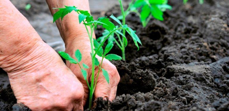 Сажать рассаду помидоров необходимо только в теплый и удобренный грунт, температура которого должна быть не меньше 15°С