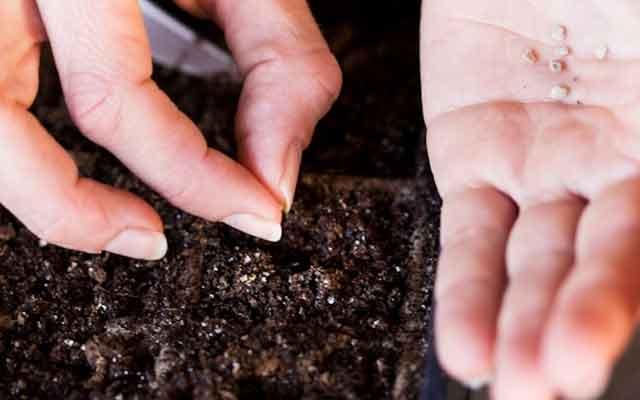 Грунт для рассады помидоров засыпают в подготовленный посадочный ящик, слегка утрамбовывают рукой или ложкой, смачивают водой
