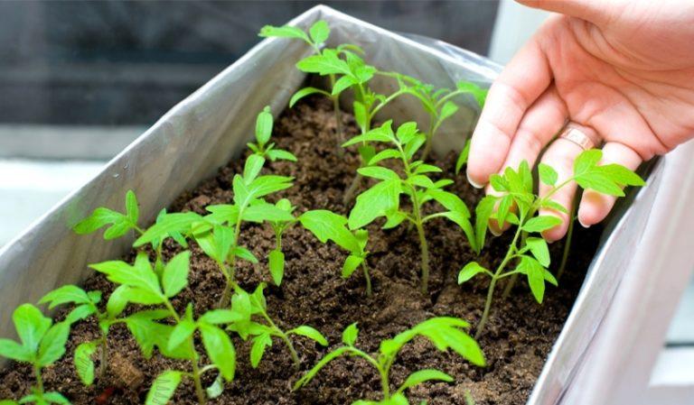 Появившиеся ростки следует обильно полить и в течение недели после того, как проклюнутся будущие томаты, рассаде требуется обеспечить температуру около 18° С