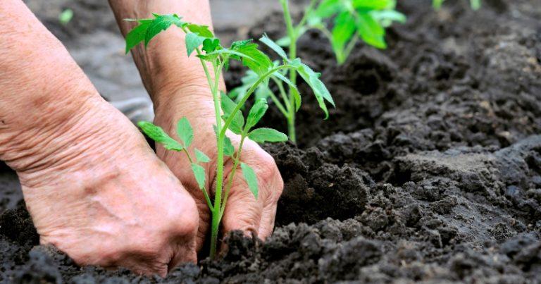 Начинающие огородники не всегда могут определить сроки, когда сажать помидоры в теплицу