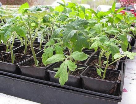К сожалению, на сегодняшний день вырастить томаты без агрохимии достаточно сложно