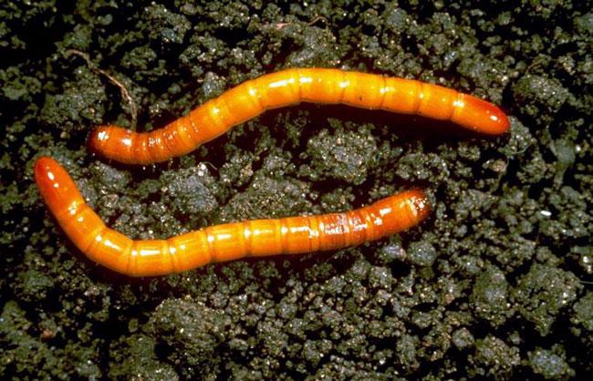Проволочник - один из самых опасных вредителей томатов