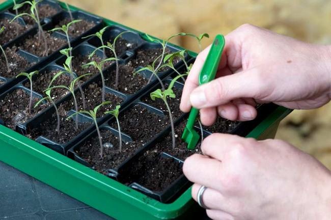 После появления нескольких настоящих листочков допускается пикирование с заглублением до семядолей на постоянное место
