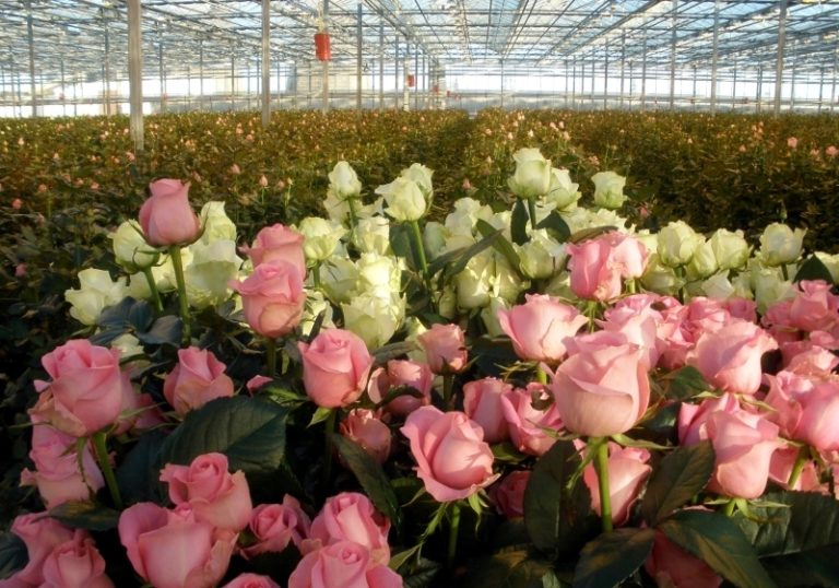Розы - это перспективное занятие