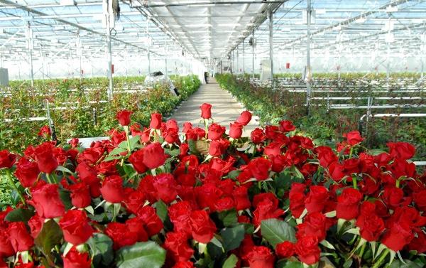 Розы - товар скоропортящийся. Даже при всех ухищрениях и применении химии в срезанном виде эти цветы стоят дней десять