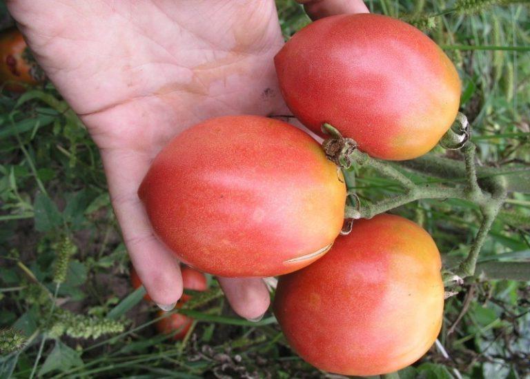 Цвет спелых помидор светло- или темно-розовый