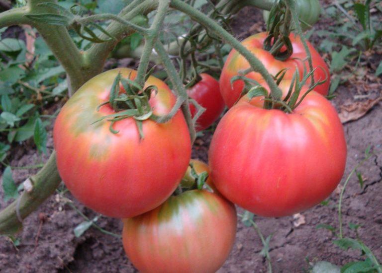 Растение данного сорта прекрасно развивается на открытых грядках и в любых тепличных конструкциях