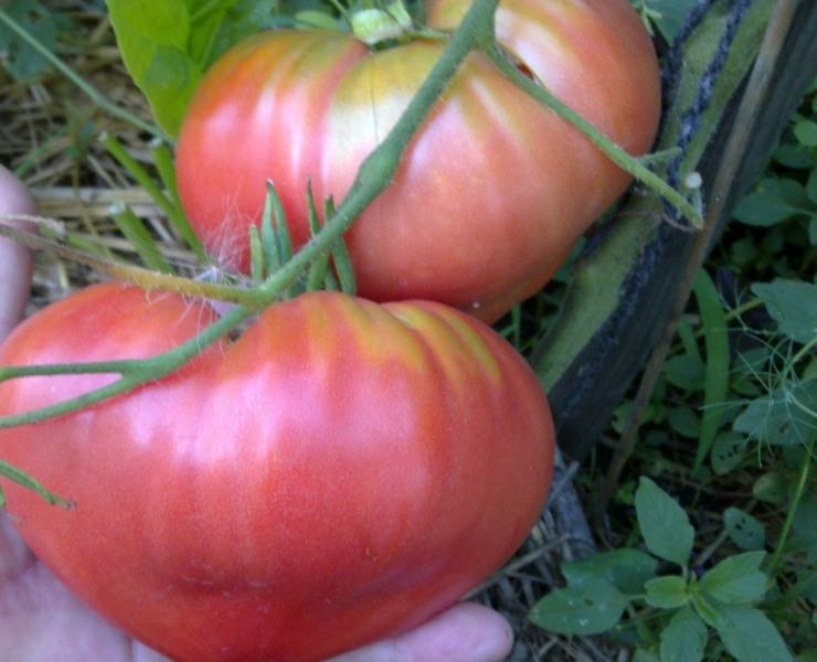 В период плодоношения проводится подкормка овощей, не стоит увлекаться азотистыми веществами, они необходимы лишь в том случае, если растение не успевает в росте