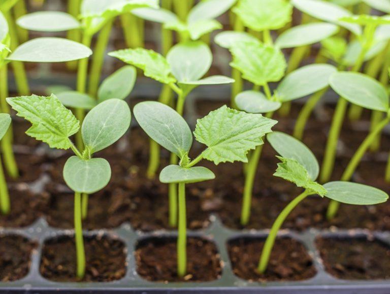 Садить огурцы, а именно семена на рассаду, требуется примерно 15 апреля