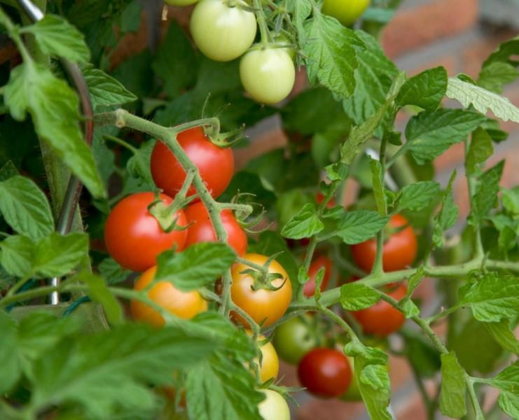 С чем не сажают помидоры 863