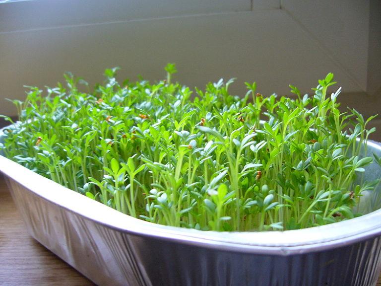 Кресс-салат на подоконнике — оптимальный вариант, так как именно этот вид растений хорошо подходит для выращивания в домашних условиях