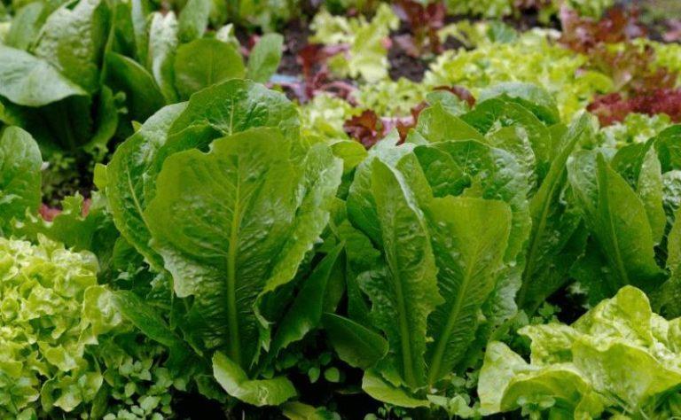 Листья салат в домашних условиях