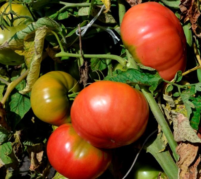Плоды растения крупные, красно-розовые, их средний вес может составлять 350-400 г.