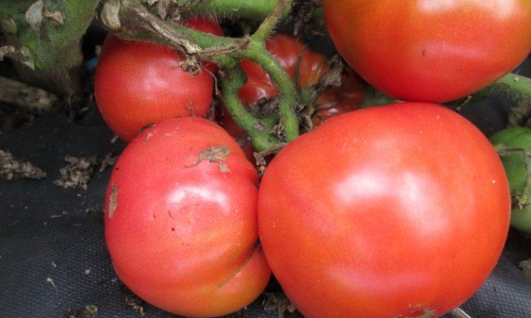 Данный вид растительного продукта получил государственную регистрацию лишь в 2004 г.