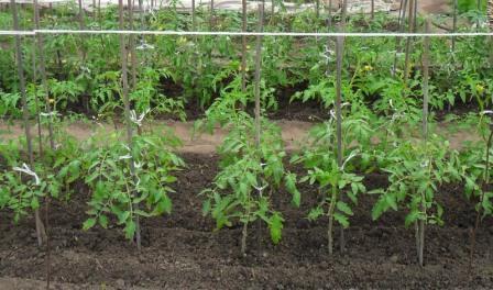Схема посадки помидор в открытом грунте определяется по ряду условий