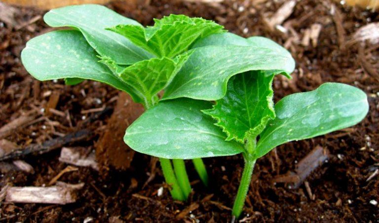 Единственный недостаток гибридов — это бесполезность самостоятельного сбора семян