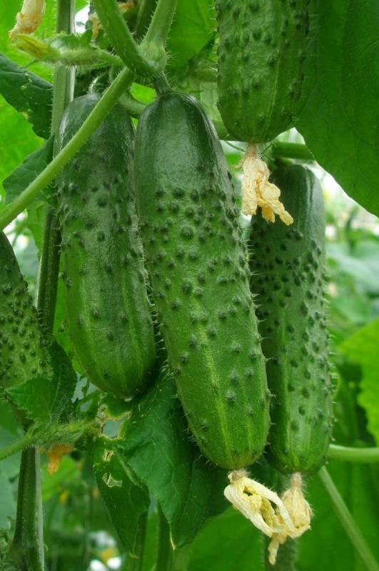 Кураж Гибрид — универсальные огурцы, отлично переносят перепады температур и могут выращиваться в теплице даже в холодное время года