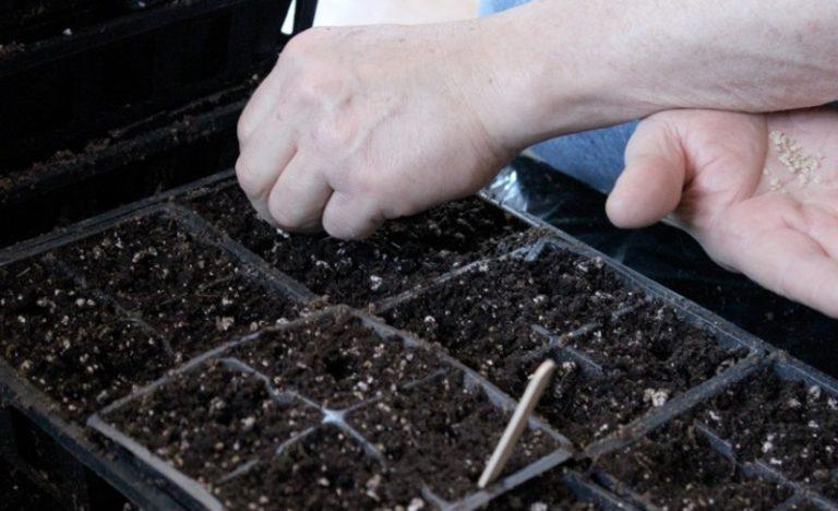При посадке томатов высокорослые сорта высаживать рекомендуется как можно раньше