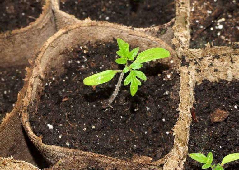 Залог богатого урожая помидоров - правильная подготовка рассады