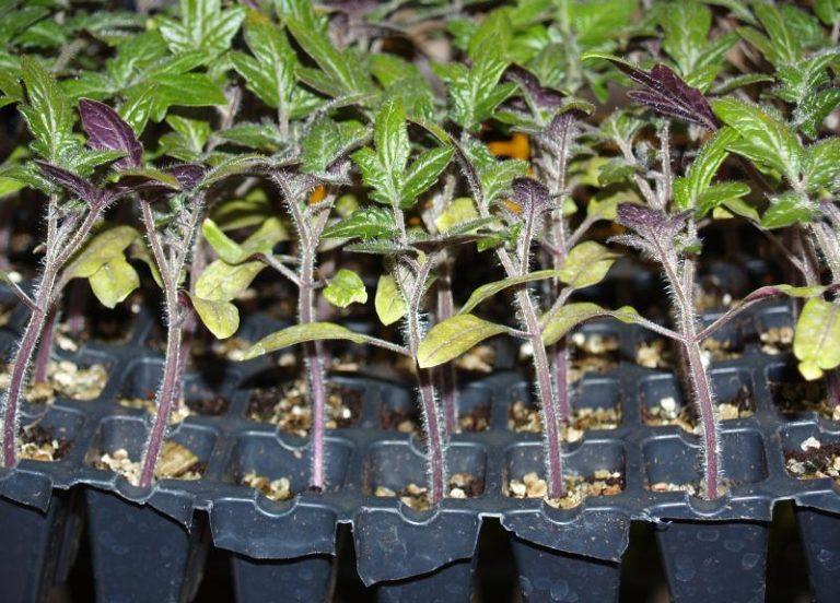 За ростками помидоров необходимо внимательно следить, чтобы они не вытянулись
