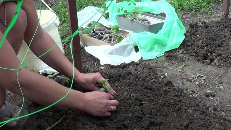Сетка на шпалере позволит выращивать огурцы практически до наступления первых осенних холодов
