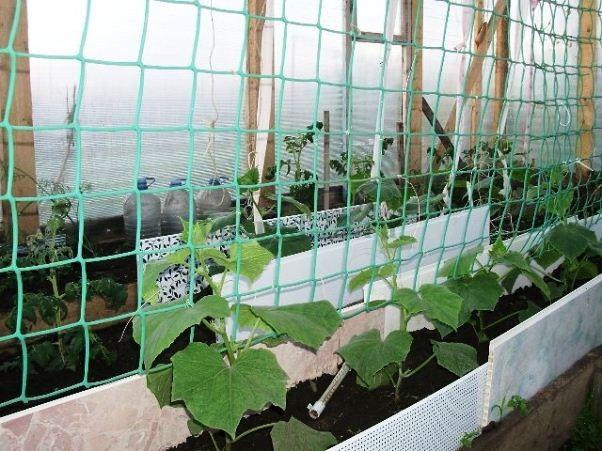 Выращивание огурцов на шпалере — отличное изобретение огородников