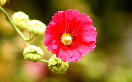 Шток-роза - это чаще многолетнее растение, с мощной корневой системой