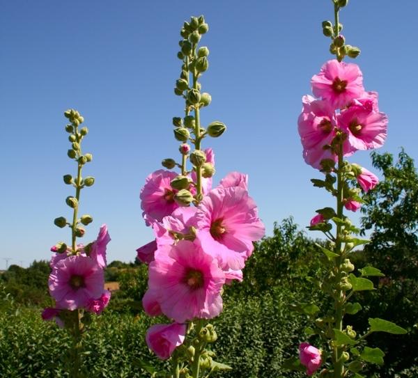Шток-роза — многолетняя, поэтому ее так любят за неприхотливость и хорошую всхожесть