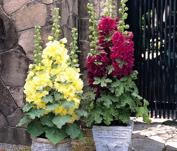 Чтобы добиться цветения в первом году, нужно высеять розу в горшочки в конце зимы и высадить ее в грунт в мае