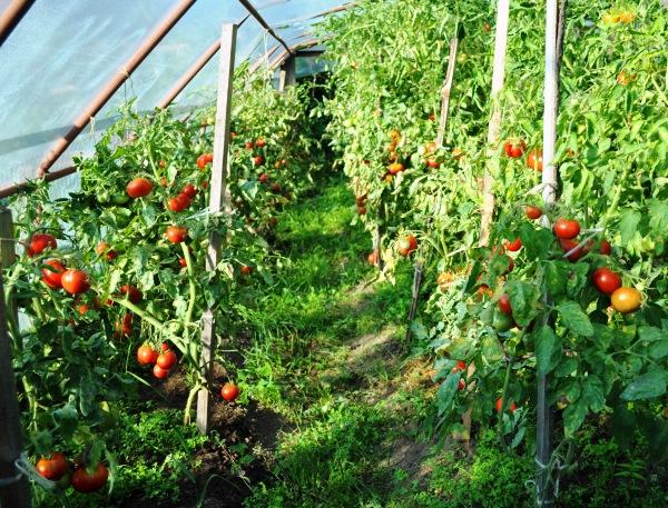 Томат Сибирский скороспелый — детерминантный сорт помидоров