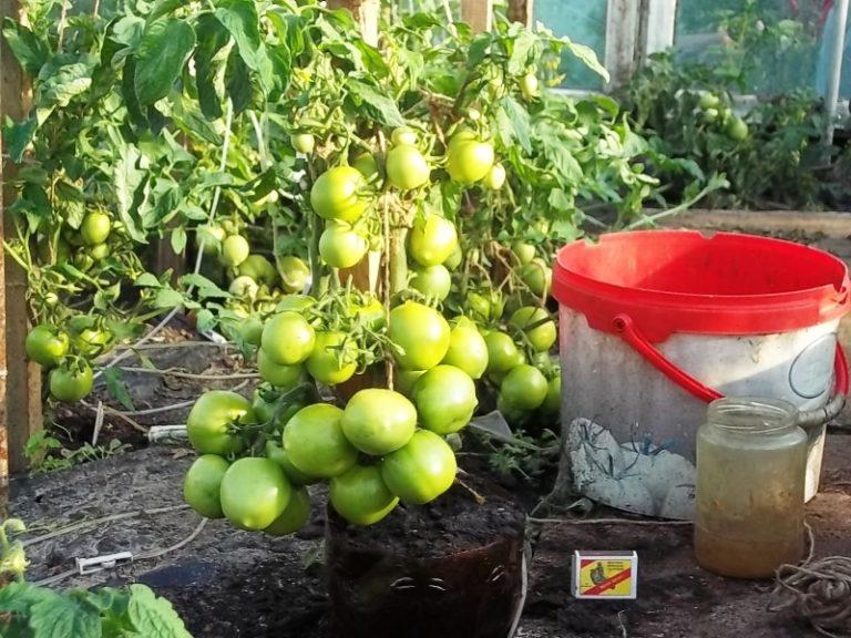 Для хорошего урожая удаляют все пасынки, выросшие по бокам, оставляя парочку для формирования новых ветвей