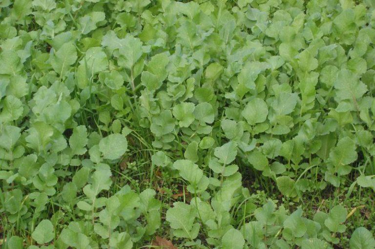 Какие сидераты можно посадить в теплице осенью?