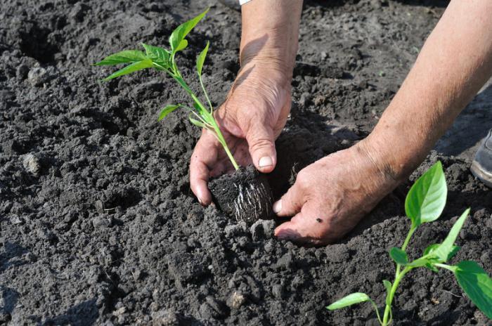 Посадка рассады перца производится в подготовленную почву, при достижении ее температуры не менее 15°С