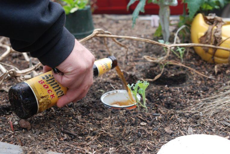 Посуду на 2/3 заполняют пивом или старым вареньем с водой и углубляют в землю до ободка