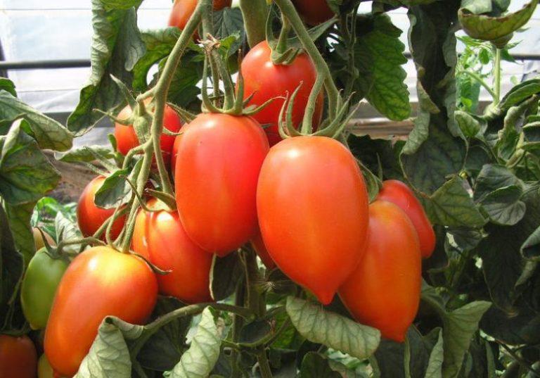 Для салата особенно хороши розовые и оранжевые помидорчики