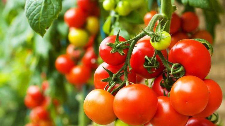Срывать помидоры нужно чуть-чуть недозрелыми